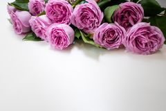 Pink roses flower white background elegance. Pink roses flowers on the top of white background. Symbol of elegance, affection and sophistication. Free space stock photos