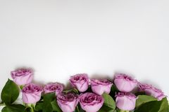 Pink roses flower white background elegance. Pink roses flowers on the top of white background. Symbol of elegance, affection and sophistication. Free space royalty free stock images