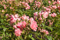 Pink roses flowerbed in garden Stock Photography