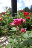 Pink roses in the flowerbed Royalty Free Stock Photo