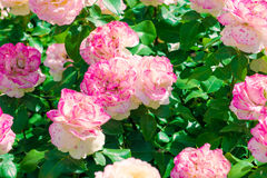 Pink roses on a flowerbed Royalty Free Stock Photos