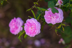 Pink roses on the flowerbed in a spring park Stock Photo