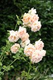 Pink Roses flowering in a Garden Royalty Free Stock Photos