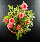 Pink roses flowerpot Royalty Free Stock Photography