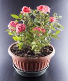 Pink roses in a flowerpot Stock Photography