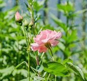 Pink roses flowers with bud, close up, green bokeh background Royalty Free Stock Photo