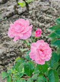 Pink roses flowers, close up bokeh background Stock Photography