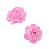 Pink roses flowers, close up, gradient background Stock Images