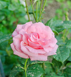 Pink roses flowers, close up, green background Royalty Free Stock Image
