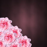 Pink roses flowers with colored degradee texture background, frame, close up Stock Photos