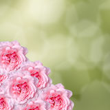 Pink roses flowers with green degradee texture background, frame, close up Royalty Free Stock Images