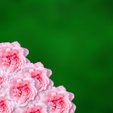 Pink roses flowers with green degradee texture background, frame, close up Stock Photography