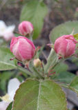 Pink roses. Flowers growing in the garden Royalty Free Stock Photography