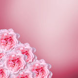 Pink roses flowers with pink degradee texture background, frame, close up Royalty Free Stock Photography