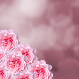 Pink roses flowers with pink degradee texture background, frame, close up Stock Photo