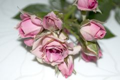 Pink roses. Flowers. Use printed materials, signs, items, websites, maps, posters, postcards, packaging. Flower composition. Use printed materials, signs, items royalty free stock images