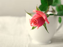Pink Roses, Flowers on White Background, card for Valentines day, copy space Royalty Free Stock Photography