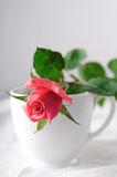 Pink Roses, Flowers on White Background, card for Valentines day, copy space Royalty Free Stock Photo