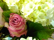 Pink roses 1. Flowers, roses and white hydrangeas Royalty Free Stock Photography