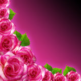 Pink roses fram with Purple Background Stock Photos