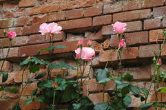 Pink roses in front of a brick wall. Pink roses in a garden before a wall Stock Photo