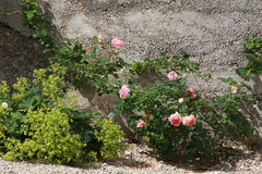 Pink roses in front of concrete wall. Pink roses and yellow alchemilla growing in front of a concrete wall Royalty Free Stock Photography