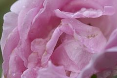 Pink roses are in full bloom. Pink Rose are in full bloom in Morning drops of dew. in a garden, Young love concept stock photos