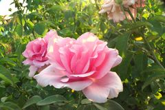 Pink Roses In Full Bloom Stock Photography