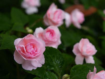 Pink Roses garden. Mini pink colored roses Royalty Free Stock Photography