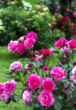 Pink roses in a garden Royalty Free Stock Images