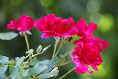 Pink roses in a garden Stock Photography