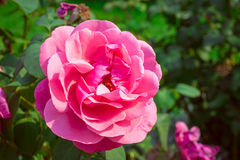 Pink roses in garden Royalty Free Stock Photography