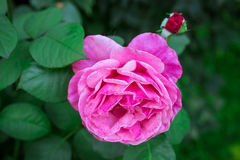 Pink roses in garden Royalty Free Stock Images