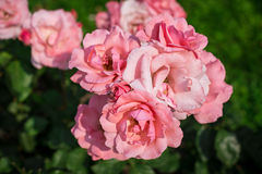 Pink roses in garden Stock Image
