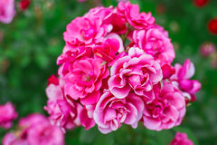 Pink roses in garden Royalty Free Stock Photos