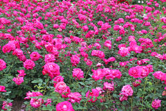 Pink roses garden Stock Photography