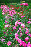 Pink roses in garden Stock Photo