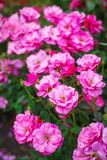 Pink roses in garden Royalty Free Stock Image