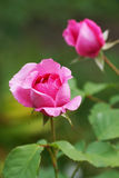 Pink roses in the garden. Royalty Free Stock Photography