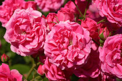 Pink roses in garden Stock Photo