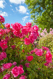 Pink roses in the Garden of Eden Royalty Free Stock Photo