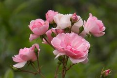 Pink Roses in Garden. Fragrant flowers bloom in garden royalty free stock photos