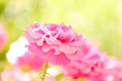 Pink roses in the garden. A large beautiful pink rose in a light green bokeh background Stock Photography