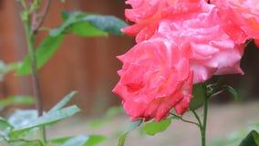 Pink roses in garden stock video