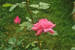 Pink roses in the garden. Morning dew and rain drops on the petals and blossoms. Island Rab, Croatia, South Europe royalty free stock image