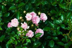Pink roses in the garden. After rain Royalty Free Stock Photo