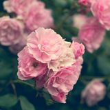 Pink roses in the garden Royalty Free Stock Images