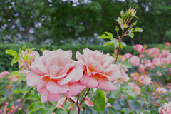 Pink roses in a garden. Some of Pink roses in a garden stock photography