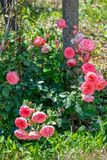 Pink roses in the garden royalty free illustration