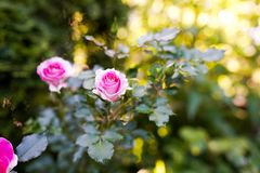 Pink roses in the garden in warm sunny day. summer background stock photography